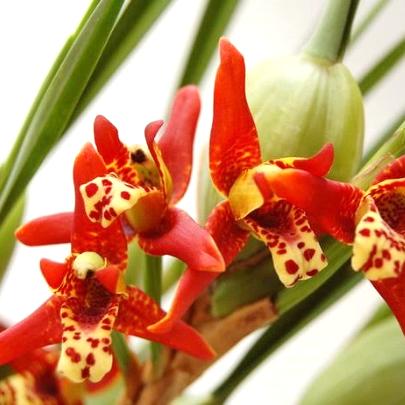 Maxillaria-tenuifolia-01