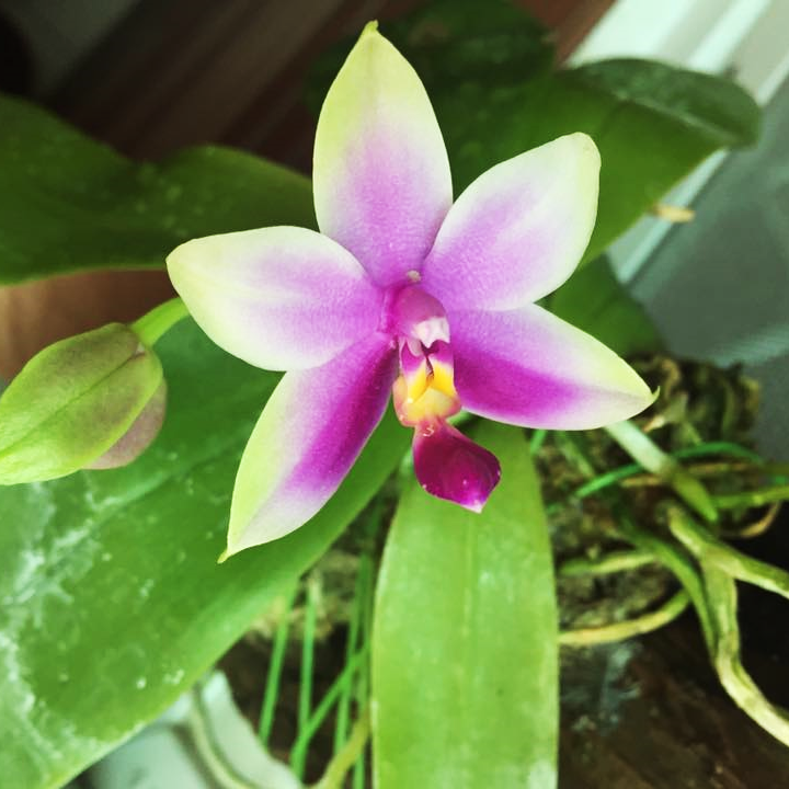 bellina-orchid-03